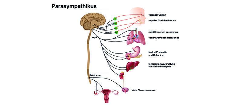 Parasympathikus (auch: Parasympathisches Nervensystem/Ruhenerv ...