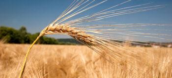 Getreide: Freund oder Feind im Verdauungstrakt?
