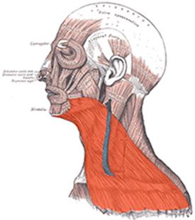 Abbildung 1: Der Platysma-Muskel (Gille, 2013)